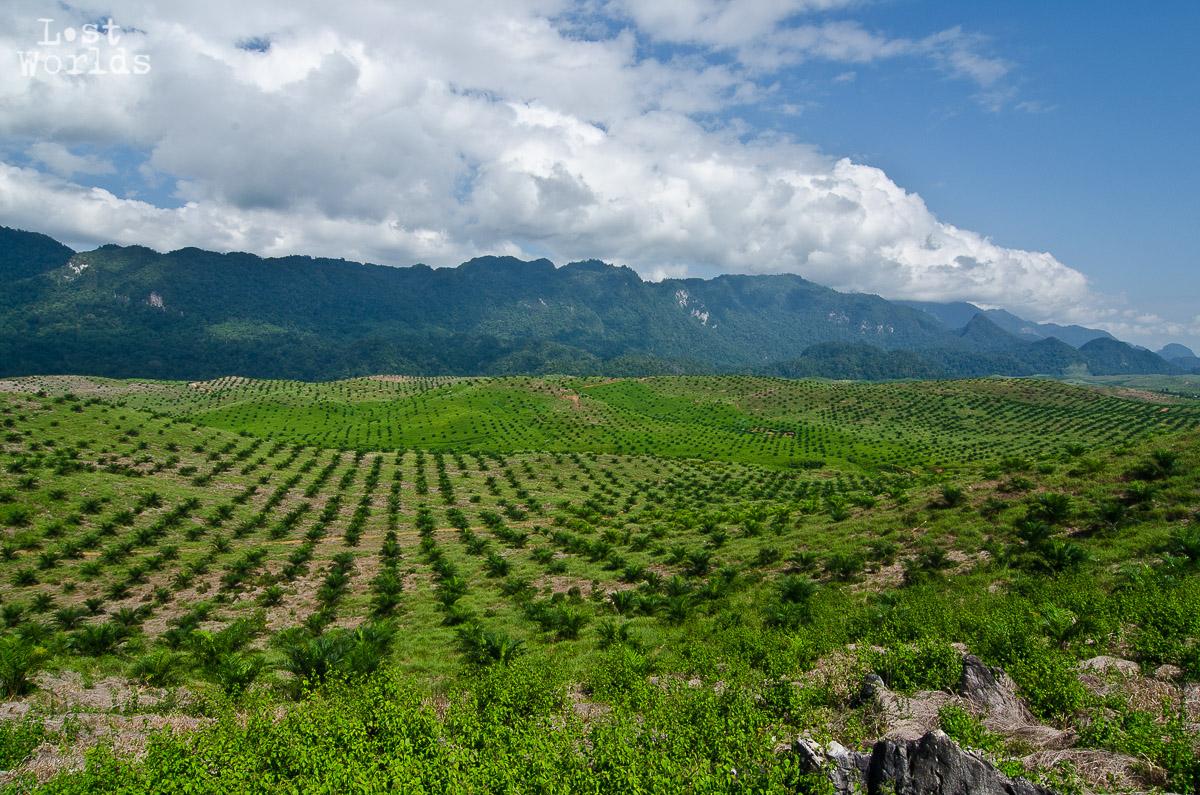 Plantation_huile_palme_Matarombeo