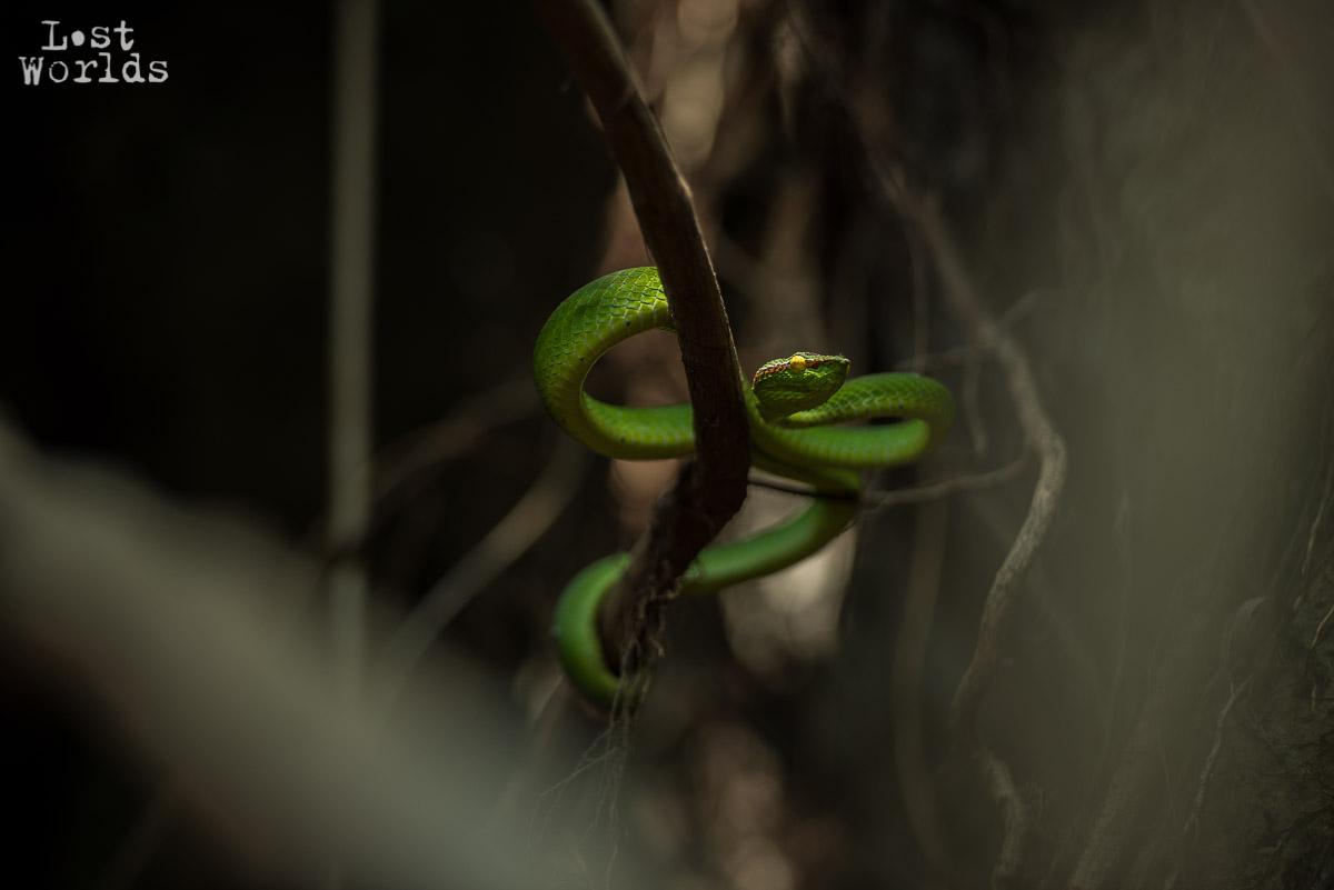 Une vipère dans le massif du Matarombéo, île de Sulawesi, Indonésie.